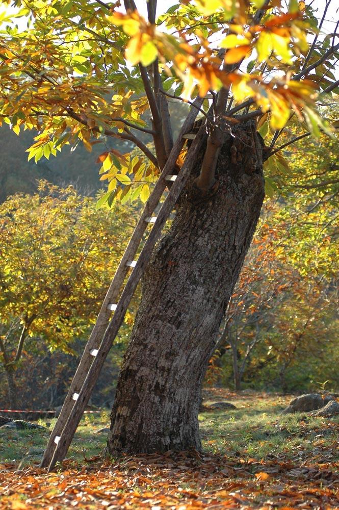 Una scala appoggiata a un tronco di castagno