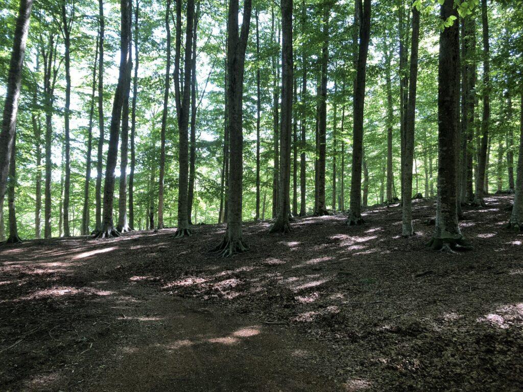 Uno scorcio della foresta di faggi sul Monte Amata